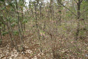 ウグイスカグラの花【落葉・低木】
