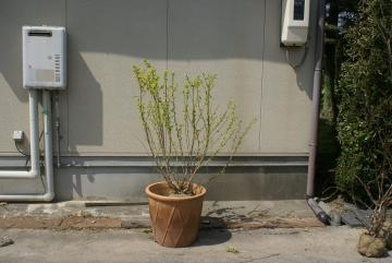 アメリカテマリシモツケ:ルテウス【落葉・低木】